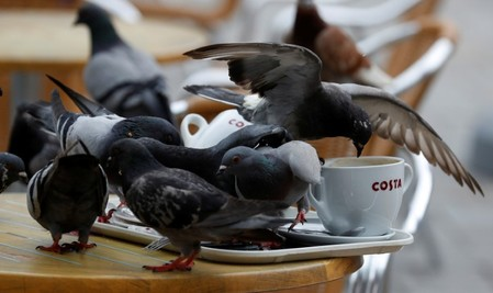 Pigeons sit on a table at a branch of Costa Coffee in the British overseas territory of Gibraltar