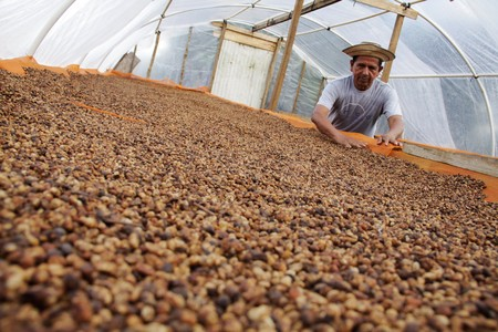 Worker sorts dry robusta coffee beans at Finca El Alto in Gaspirilla