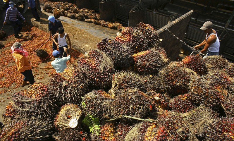 Workers unload palm fruits at a local palm oil factory in Indonesia's North Sumatra province