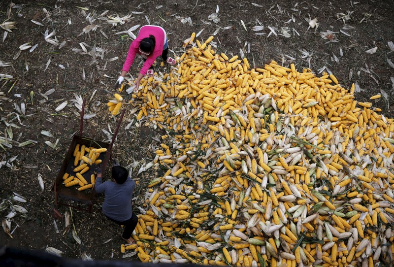 File photo of farmers collecting corn for a cargo at a farm in Gaocheng