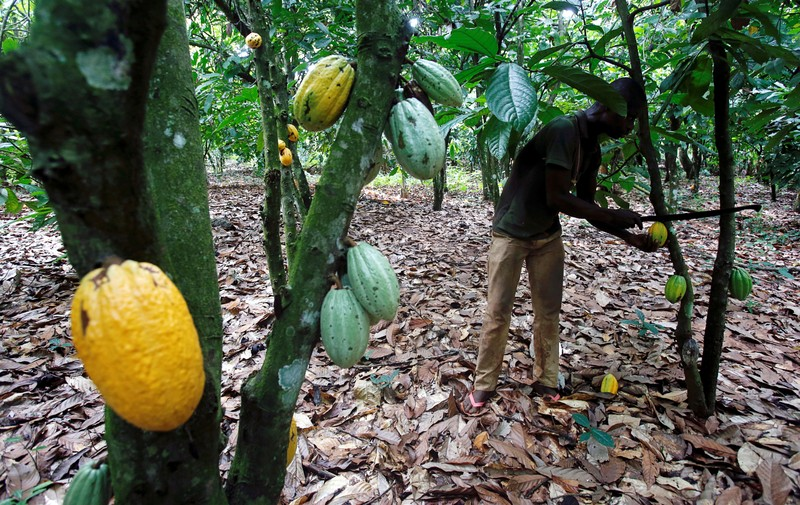 Ivory Coast cocoa grinding up 5 5 pct through March 31 - exporter