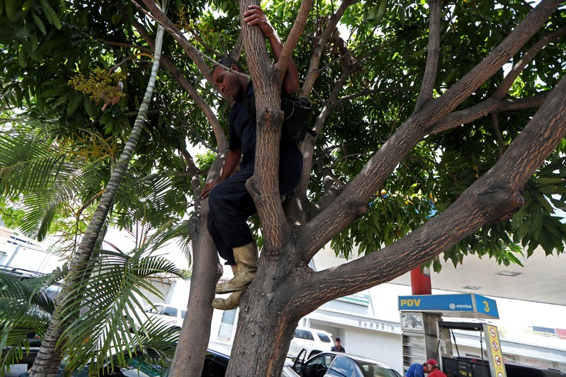 A worker goes down from a mango tree outside a state oil company PDVSA's gas station in Caracas