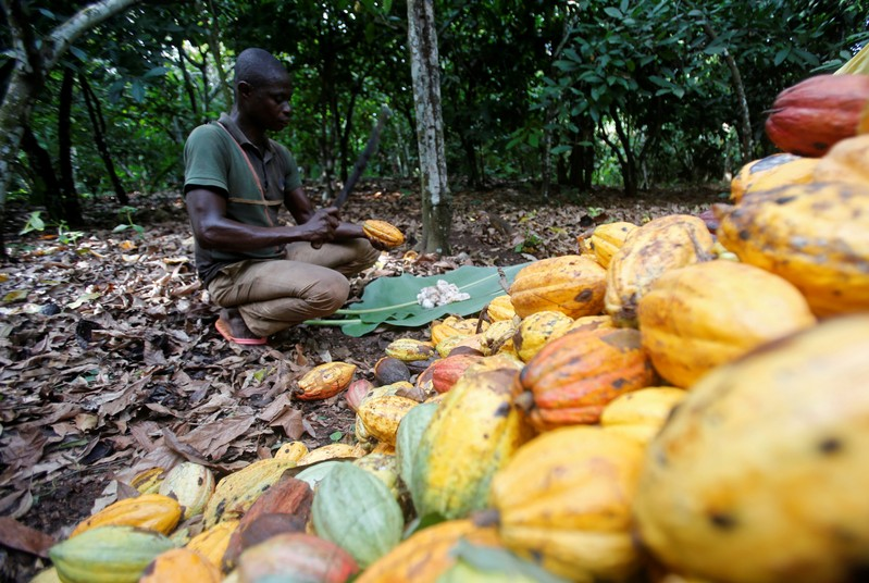 FILE PHOTO: A farmer works on cocoa pods at a farm in Toumodi