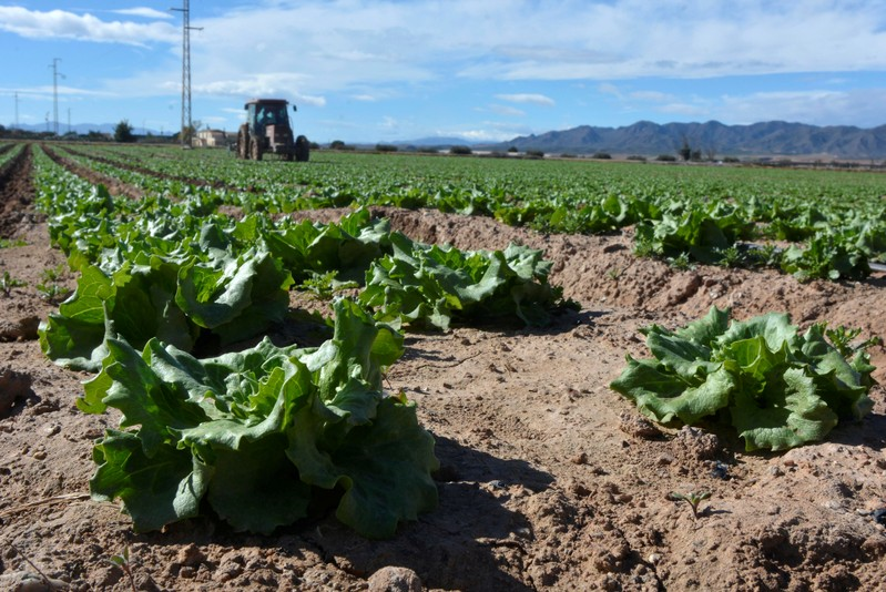 FILE PHOTO: A farmer drives a tractor through a field of lettuce ready to be collected near Pulpi