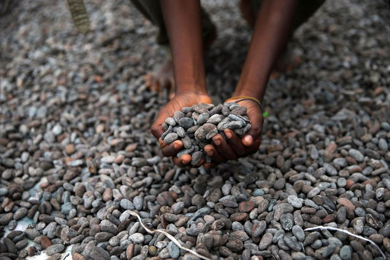 FILE PHOTO: Farmer picks up cocoa beans while spreading them to dry on an open ground in Iragbiji village