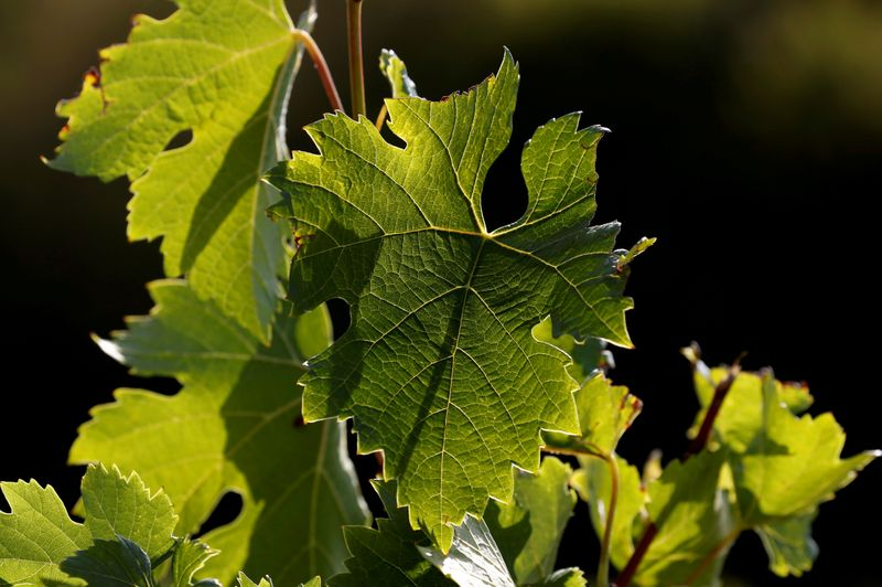 FILE PHOTO: Vine leaves are pictured in a vineyard few days before harvest in Cenac