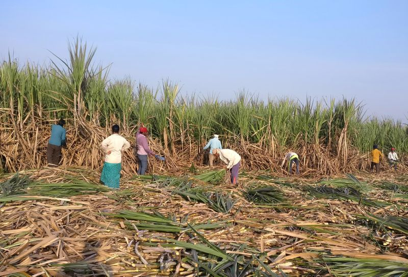 FILE PHOTO: Workers harvest sugarcane in a filed in Gove village