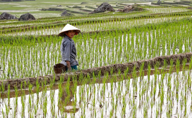 An ethnic Thai farmer works on her terraced rice field in Pu Luong