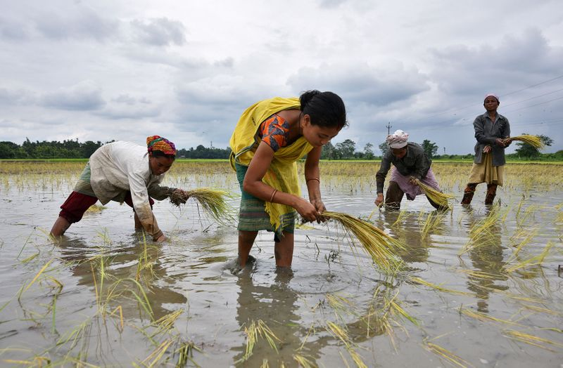 FILE PHOTO: Women plant rice saplings at a paddy field in a village in Nagaon district, Assam state, India